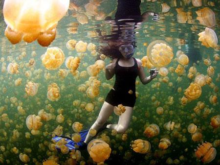 Berenang Bersama Ubur Ubur Tak Menyengat di Kepulauan Derawan